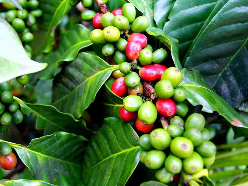 Differenza fra Arabica e Robusta